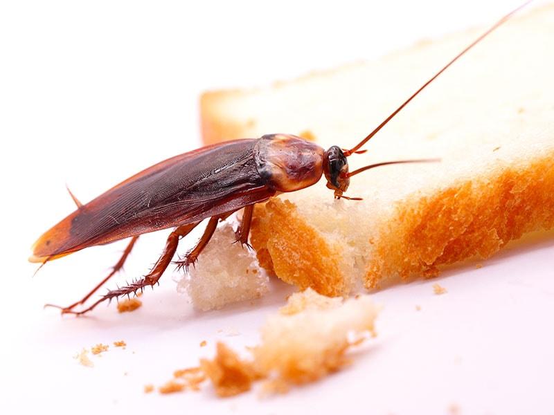 nourriture infecté par une coquerelle