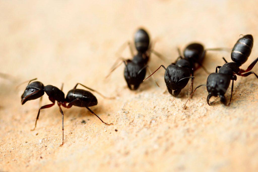 Groupe de fourmis charpentiere sur morceau de bois