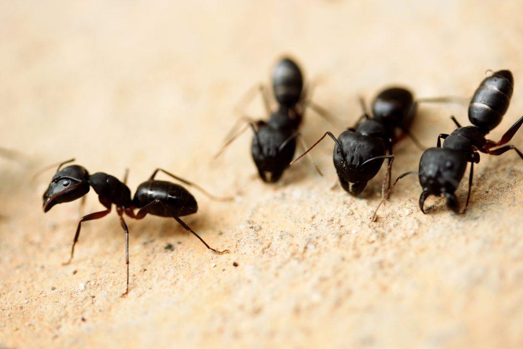 exterminateur fourmis charpentiere à Châteauguay